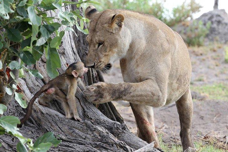 Löwin fängt ein Pavianbaby
